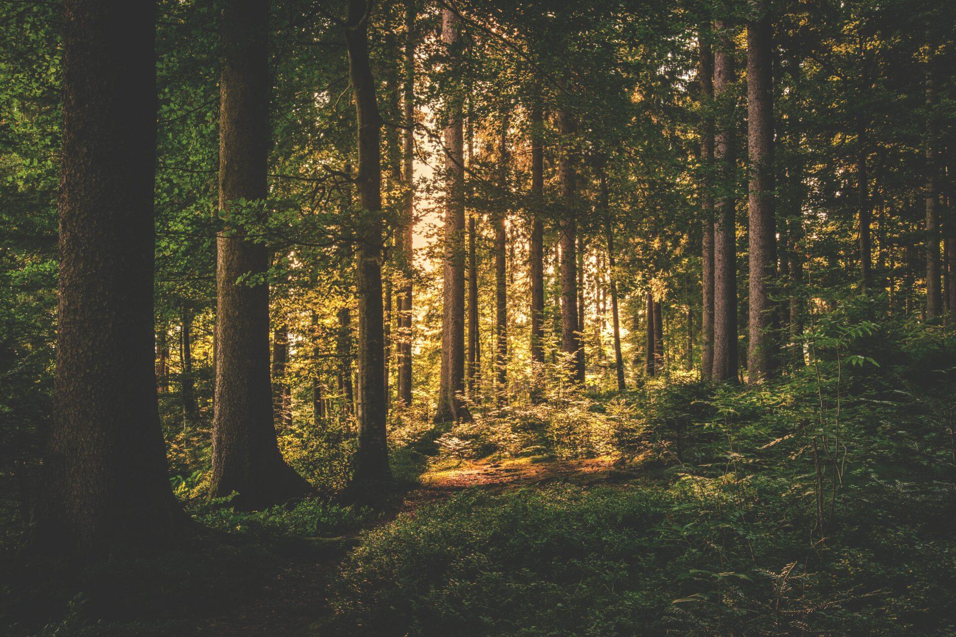 Skog där solen lyster genom träden.